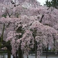 三宝院のしだれ桜