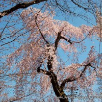 祇園御祖櫻