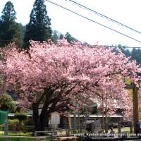 SAKURA 2008 No.4