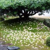 京の沙羅双樹を愛でる