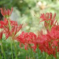 赤く咲くのが曼珠沙華