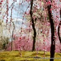 誘われて京の梅