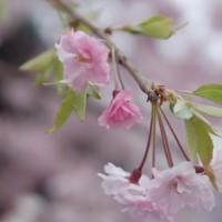 花見 桜 法輪寺