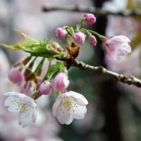 花見 桜 十三まいり 法輪寺