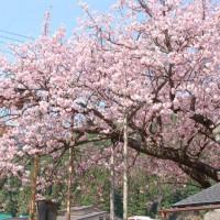 花見 桜 春日神社