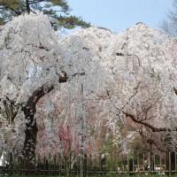 花見 桜 近衛邸址