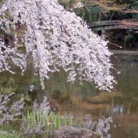 花見 桜 近衛邸址 足利義満 豊臣秀吉