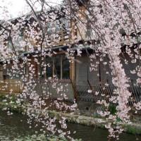 花見 桜 祗園白川