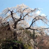 花見 桜 地蔵禅院