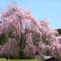 花見 桜 常照皇寺