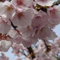 花見 桜 車折神社境内