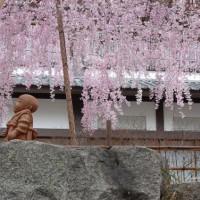 花見 桜 六角堂 花山天皇 聖徳太子