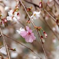 花見 桜 六角堂
