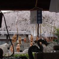 花見 桜 六角堂頂法寺