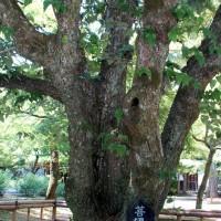 花暦 菩提樹 真如堂 釈迦