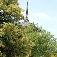 花暦 菩提樹 真如堂 三重塔 釈迦