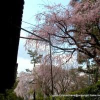 桜 花見 観桜 早咲き桜 旧武徳殿 京都武道センター