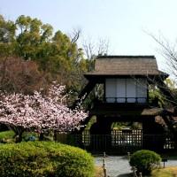 先駆けの桜