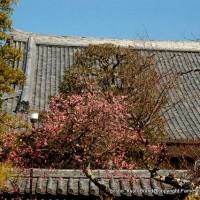 観梅 黒谷の紅梅  金戒光明寺