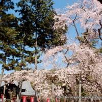 醍醐寺 枝垂桜を歩く 伽藍編