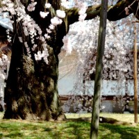 続 醍醐寺枝垂桜を歩く 三宝院・霊宝館編