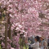 上賀茂神社の櫻