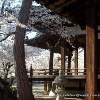 西陣の日蓮宗寺院の櫻 その2