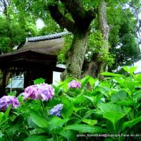 京の紫陽花めぐり 藤森神社