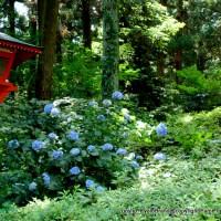 京の紫陽花めぐり 善峰寺編