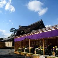 京の菊 嵯峨菊