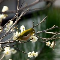 観梅 京の梅かほる
