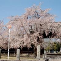 西陣の日蓮宗寺院の櫻 その1