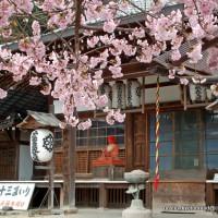京の旅 /  十三詣りに桜茶・桜餅