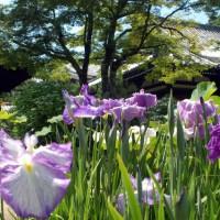 野花菖蒲で田植えを知る