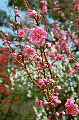 桃の節句 : 桃の花・桃色に白色、濃紅色がある。