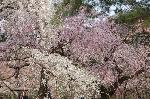 桃の節句 : 糸桜・山桜・里桜が乱舞のように咲き誇っている。