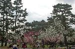 桃の節句 : 御苑内は市民の憩いの場となり、家族連れの桃の花見で、手弁当が持ち込まれ楽しんでいる。