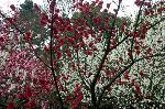 桃の節句 : 御苑桃林で満開の三色の桃の花。
