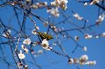 桃の節句 : 梅にめじろ。鶯色の羽を見てウグイスと思っている人多い。花札の絵図のせいだろうか。