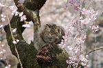 桃の節句 : 「我輩は桜見である」 見ての通り猫の花見である。枝垂桜の幹に座り込み日向ぼっこか。