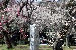桃の節句 : 枝垂れ梅は御苑の桃林にはない。梅の木の背丈は桜のように高くなく、枝は多く、よく伸びる。