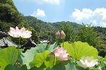 観蓮 花暦 : 蓮の花の先に三重塔が聳える