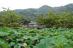 観蓮 花暦 : 放生池に咲く蓮