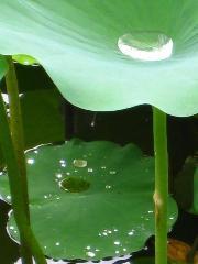 観蓮 花暦 : 放生池の朝露を抱く蓮