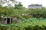 観蓮 花暦 : 放生池の蓮に勅使門