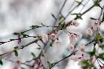 旬の桜を求めて