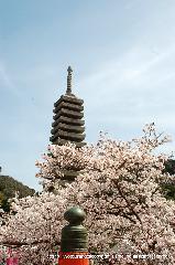 桜と茶だんごで宇治三昧 : 喜撰橋より