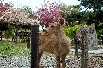 平城遷都1300年祭 : 人と町と共存する鹿たち
