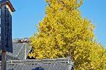 銀杏 紅葉 黄葉 : 真宗本廟の親鸞聖人750回大遠忌法要を告げる駒札