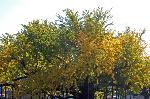 銀杏 紅葉 黄葉 : 逆さイチョウ 別名水吹きイチョウ